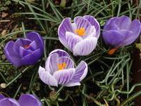 春を告げる小さな球根草たちと花木たち - キミティのお花とギター