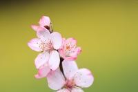 アーモンドの花♪ - happy-cafe*vol.2