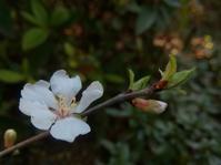 ゆすら咲く庭… - 侘助つれづれ