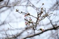 ■サクラ咲く20.3.17(染井吉野、大島桜、山桜) - 舞岡公園の自然2