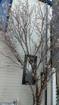 今年も桜が咲きました - ウンノ接骨院(ウンノ整体)と静岡の夜