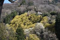 20年春の自然(16)…黄色の斜面 - ふぉっしるもしてみむとてするなり