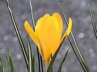 庭の花とアライグマ - しらこばとWeblog
