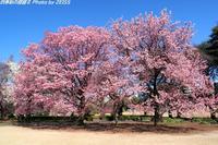 新宿御苑に咲く桜 - 四季彩の部屋Ⅱ