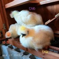 もふっ - 烏骨鶏かわいいブログ