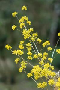 花火のようなサンシュユの花 - やきとりブログ