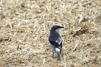 迷鳥 オオカラモズ(大唐百舌) ③ - azure 自然散策 ~自然・季節・野鳥~