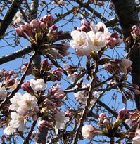 桜咲く - 埼玉でのんびり暮らす