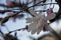 20年春の自然(16)…植栽木 - ふぉっしるもしてみむとてするなり