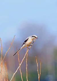 疲れてきたオオカラモズⅤ - 野鳥との出会い