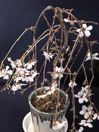 富士桜とクロッカス - しらこばとWeblog