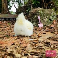 お庭で遊ぼ - 烏骨鶏かわいいブログ