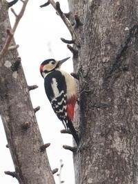 湖畔にはアカゲラもいた - コーヒー党の野鳥と自然パート3