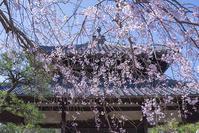 鎌倉しだれ桜満開です - エーデルワイスPhoto