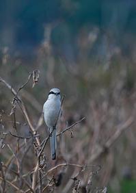 彩の国にやってきた珍鳥Ⅲ - 今日も鳥撮り