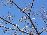 桜前線 - 老いの小文