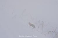 キタキツネは霧の中 - ekkoの --- four seasons --- 北海道