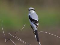 オオカラモズ - 『彩の国ピンボケ野鳥写真館』