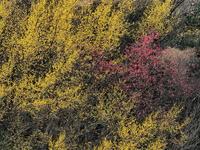 山茱萸  1大阪府 - ty4834 四季の写真Ⅱ