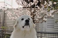 春ですね〜🌸 - ゆっくり歩こうね。。。♪