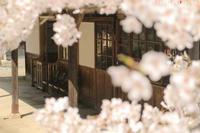 桜に想いを - PTT+.