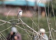 オオカラモズー① - 写真で綴る野鳥ごよみ
