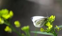 春分雀始巣 - 紀州里山の蝶たち