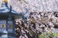 SEL135F18GMで撮ったしだれ桜 - エーデルワイスPhoto