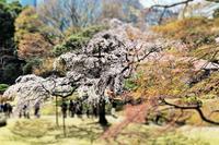 枝垂れ桜を見にいきました - 57歳☆専業主婦やってます