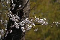 春本番なれど…。 - イーハトーブ・ガーデン
