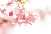深谷市内の河津桜 - 何でも写真館
