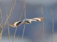 オオカラモズの飛翔 - 『彩の国ピンボケ野鳥写真館』