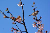 大寒桜にニュウナイスズメ - 気ままな生き物撮り 弐