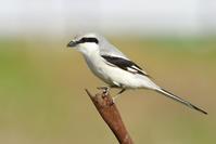 オオカラモズ(Chinese Grey Shrike)~2020.03 - Birding  in  Japan!