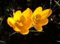 クロッカス色々2020 - キミティのお花とギター