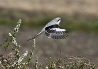 オオカラモズー③ - 写真で綴る野鳥ごよみ