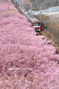 ギリギリ楽しめた頃 『三浦海岸 桜まつり2020』② - 写愛館