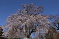桜だより(2) 円龍寺のしだれ桜 (2020/3/21撮影) - toshiさんのお気楽ブログ