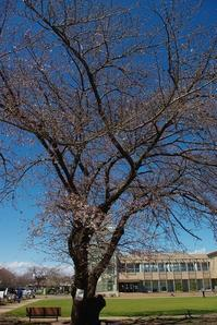 桜の咲き始めころぽっくる - ひのきよ