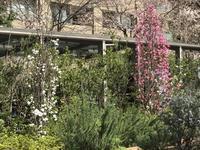 広尾日赤の裏庭は桃源郷−2020 - 青山ぱせり日記
