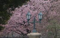 桜 - belakangan ini