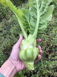 お宝野菜が収穫できました~ - 家庭菜園ニストabuさん家の美味あれこれ