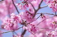 陽光桜 - 生きる。撮る。