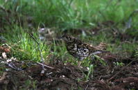 MFの赤松林で目的キクイタダキを待つ間 - 私の鳥撮り散歩