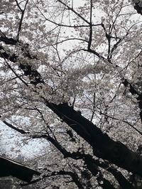 飛鳥山公園の桜は5、6分咲き! - 自然と遊楽
