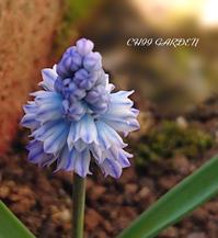 ムスカリ「アズレウム」の開花と庭のつぼみ達 - どんぐりの木の下で……