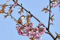ニュウナイスズメ - ごっちの鳥日記