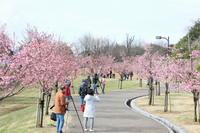 河津桜また来シーズン - 平凡な日々の中で