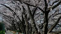 さくら咲く【 20203/22(日)  】 - 夜つぐみの鳴くところで