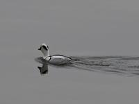 諏訪湖の水鳥 - 平さん
